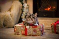 Cat, new year holidays, christmas, christmas tree Stock Images