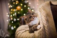 Cat, new year holidays, christmas, christmas tree Royalty Free Stock Photography