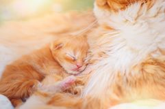 A cat with a newborn kitten stock photos