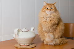 Cat next to a teapot Royalty Free Stock Images