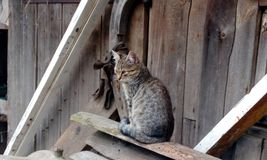 Cat. Nice cat meow Stock Image