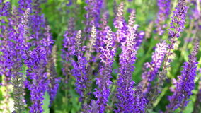 Cat nip. Blooming purple flowers in the summer garden stock video footage