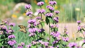 Cat nip. Blooming purple flowers in the summer garden stock video