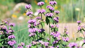 Cat nip. Blooming purple flowers in the summer garden stock footage