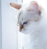 Cat. Noble blue-eyed cat on the window Royalty Free Stock Photo