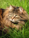 Cat (Norwegian forest cat) in the grass,. Long haired cat with a big mane (Norwegian forest cat), in the grass royalty free stock photos