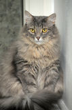 Cat Norwegian Forest Royalty Free Stock Images