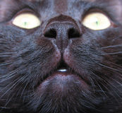 Cat nose. Macroshot of black cat face royalty free stock photo