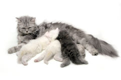 Cat Nursing Royalty Free Stock Photography
