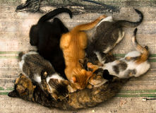 Cat nursing. Alley cat nursing their young kittens lying on an old rug Stock Image