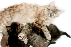 Cat nursing her kittens Royalty Free Stock Photography