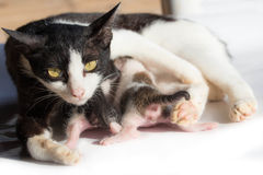 Cat nursing her kittens.The cat feeds a kittens stock photos