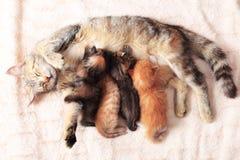 Cat nursing her kittens Stock Photos