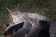 Cat Nursing her Kittens royalty free stock images