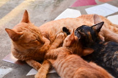 Cat Nursing her Kittens Royalty Free Stock Image