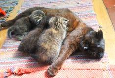 Cat nursing her newborn kittens Royalty Free Stock Photo