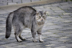 Cat. OCTOBER 2013 - SAXONY: a feisty cat Royalty Free Stock Image