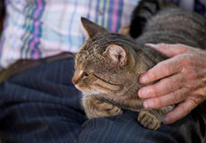 Cat in old man lap. Tabby cat lying in old man lap and enjoying cuddling Royalty Free Stock Images