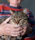 Cat in old man's lap. Cute tabby cat sitting in old man's lap. Wrinkled hands of old man holding cat Royalty Free Stock Images