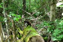 Cat on an old mossy log in the forest Stock Image