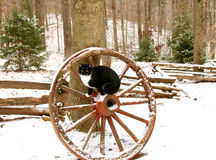 Cat on old wagon wheel. A black and white cat on an old wooden wagon wheel in a snow covered woods Royalty Free Stock Photography