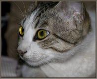 Cat& x27; olho de s Imagens de Stock Royalty Free