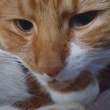 Cat Oliver hålla ögonen på Arkivbilder