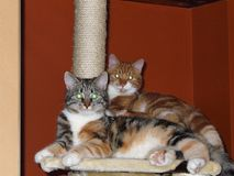 Cat Oliver and Nanou together on cat scratching post stock photography