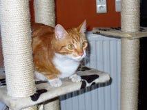 Cat Oliver spela Royaltyfri Fotografi