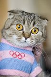 Cat in Olympic dress. Bred, tabby with yellow eyes Stock Photos