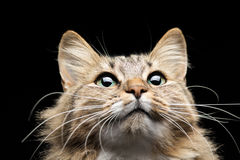 Cat On A Black Background Looks Up Royalty Free Stock Photo