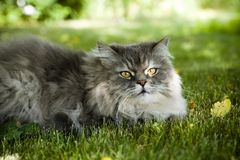 Cat On Green Grass Royalty Free Stock Photo
