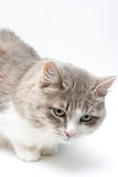 Cat On White Royalty Free Stock Photography
