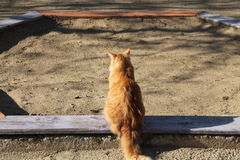 Cat. One fluffy bright orange color cat with long tail sit on the side of the sandbox on the playground  in warm spring day Stock Photography