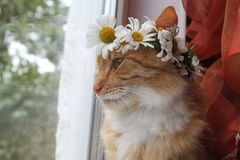 Cat. One fluffy bright orange color cat with wreath from white daisy look in window  in warm spring day Stock Image