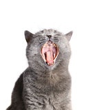 Cat with an open mouth. Stock Image