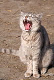 Cat with open mouth royalty free stock photography