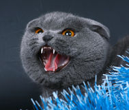 Cat with an open mouth on the black. Stock Image