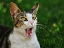 Cat with an open mouth. Singing royalty free stock photo