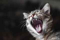 Cat with open mouth closeup royalty free stock images
