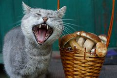 Cat with open mouth near basket with mushrooms. Brown basket with mushrooms and gray cat Stock Photos