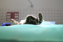 Cat on operating table. In anesthesia stock image