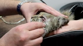 Cat on the operating table. The animal is wiped from conjunctivitis. Vet clinic. Doctor and patient stock video