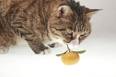 Cat and orange. Stock Photo