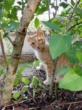Cat. Orange, brown and white with honey eyes royalty free stock image