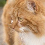 Cat. Orange curious cat Royalty Free Stock Images
