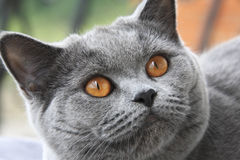 Cat with orange eyes, British blue shorthair Royalty Free Stock Photos