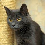 Cat with orange eyes Royalty Free Stock Photography
