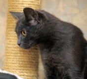 Cat with orange eyes Royalty Free Stock Images