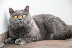 Cat with orange eyes looking up Stock Images